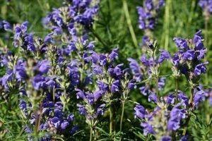 Zmeegolovnika - descriere, proprietăți medicinale, utilizarea